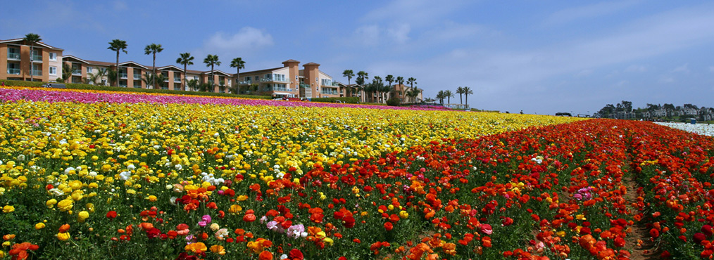Featured Image for Discover Carlsbad, Home of the San Diego Superbloom