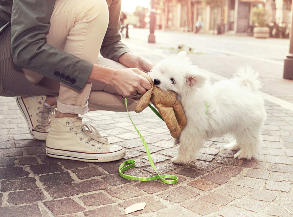 Walking a small white dog